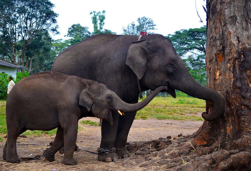 Baby_elephant_Dubare_Elephant_Camp_Coorg_Karnataka