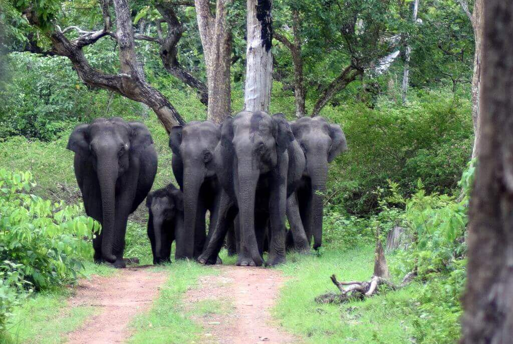 Bandipur_National_Park,_Karnataka,_Wild_Elephants