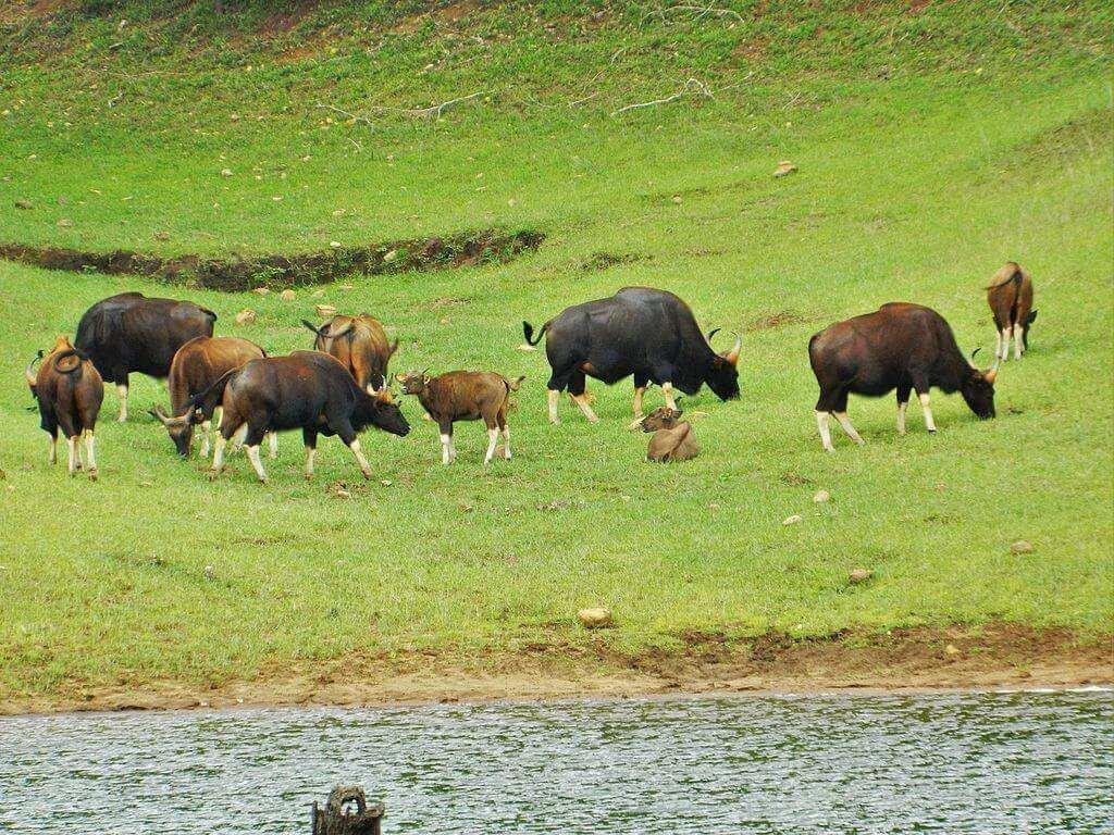 Gaur_(Indian_Bison)_at_Periyar_National_Park_&_Wildlife_Sanctuary