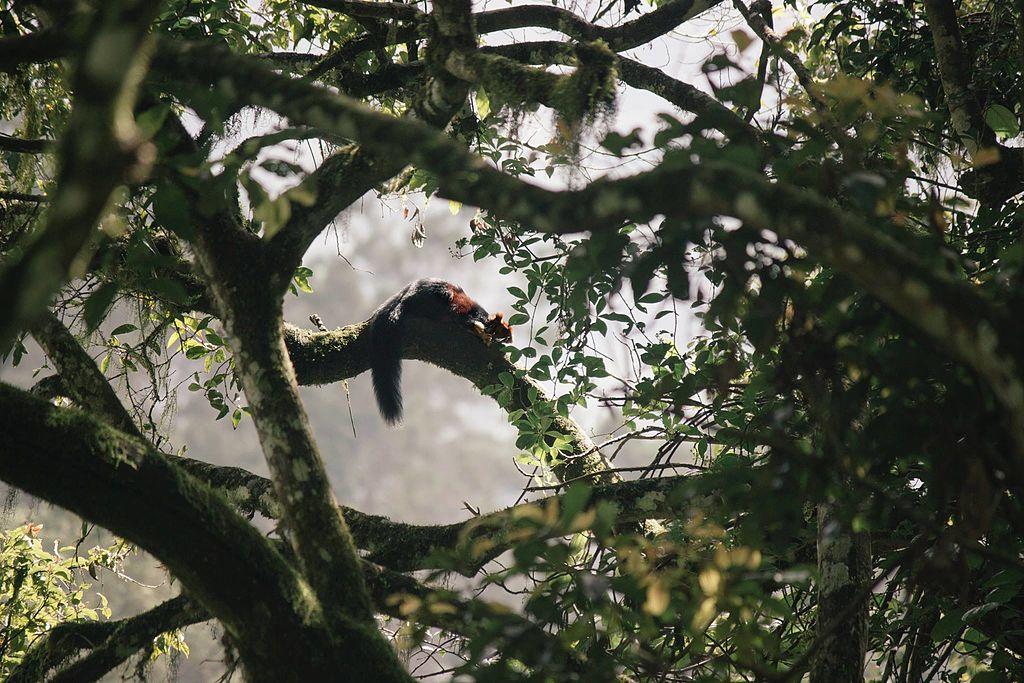 Giant-Squirrel-Pampadum-Shola-National-Park