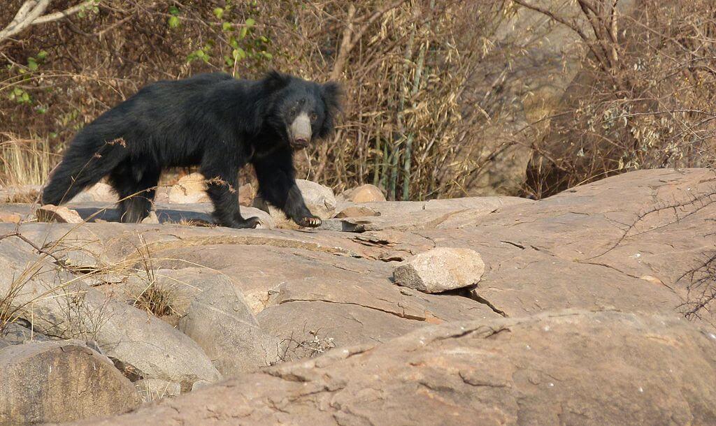 Melursus-Ursinu-Daroji_Sloth_Bear_Sanctuary