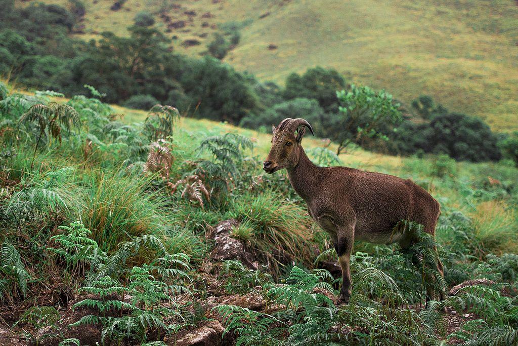 Nilgiri Tahr Eravikulam National Park Munnar
