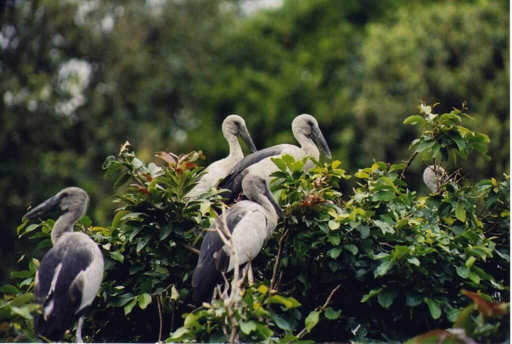 Open_billed_Stork_at_Ranganathittu_bird_sanctuary