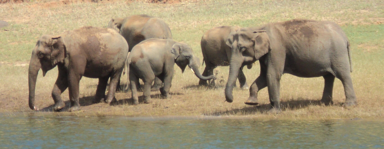 Elephant herd in Periyar National Park Thekkady