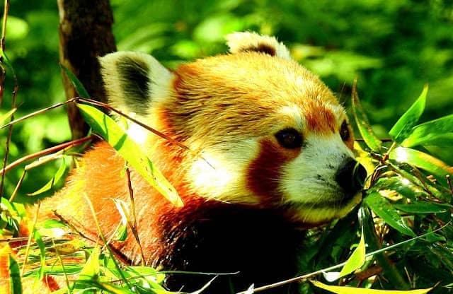 Red Panda at Singalila National Park
