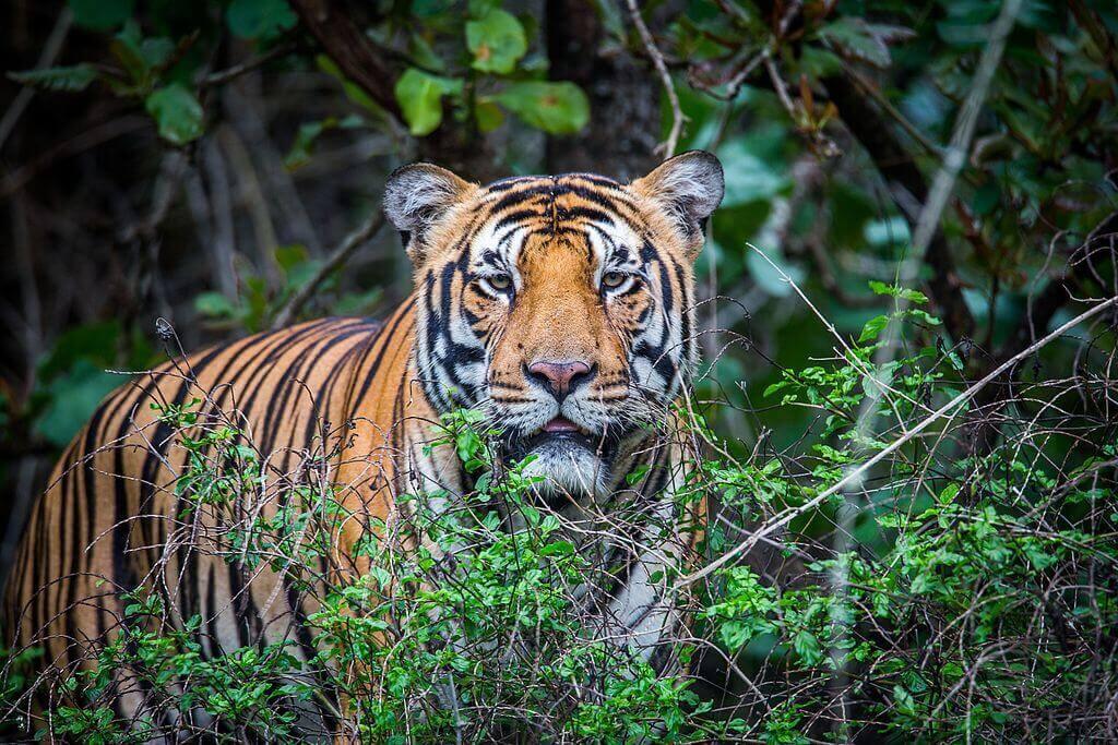 Royal_Bengal_Tiger_Bhadra_Tiger_Reserve