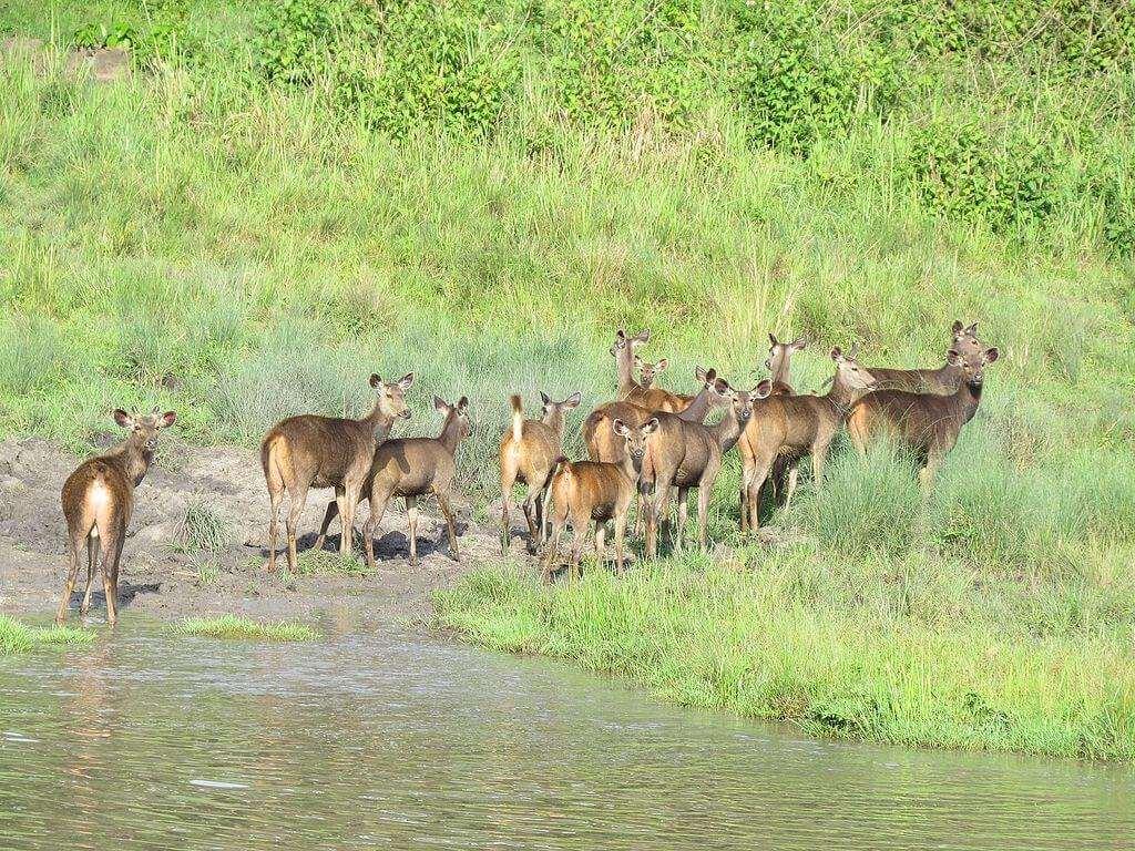 Sambar_herd_in_vayal_Muthanga_Range_Wayanan Sanctuary