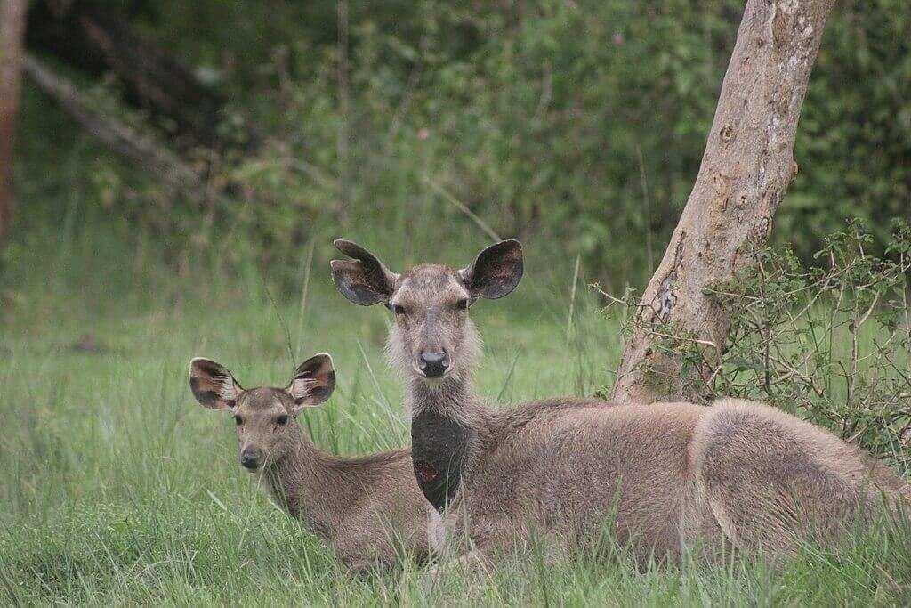 Sambar_pair_at_Bandipur_National_park