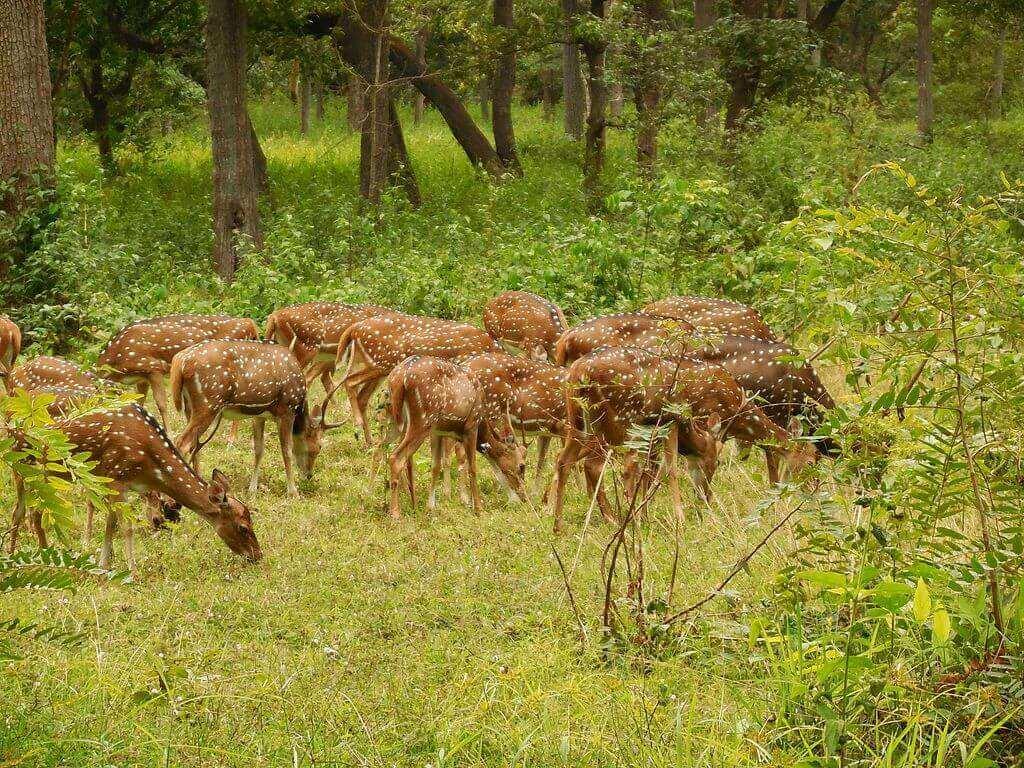 Spotted_Deer,_at_Nagarhole_National_PArk