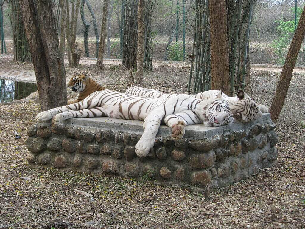 White_Tigers_at_Bannerghatta_National_Park
