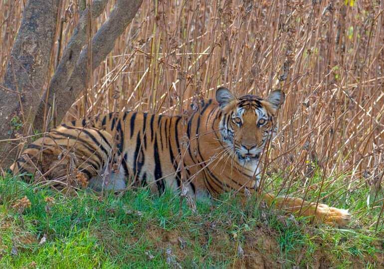 kabini-tiger-sighting-Nagarhole_National_Park